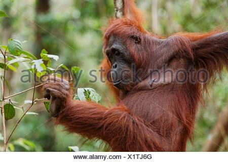 Orang-utan (Pongo pygmaeus) in Tanjung Puting national park, Central-Kalimantan, Borneo, Indonesia - Stock Photo