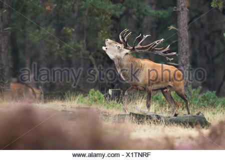 burling red deer in rutting season - Stock Photo