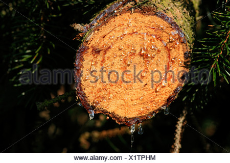 Resin, tree resin on the cut surface of a Norway Spruce (Picea abies) - Stock Photo