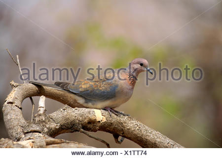 Laughing dove (Streptopelia senegalensis), adult, perched on tree, Kruger National Park, South Africa - Stock Photo
