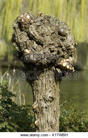common osier (Salix viminalis), just cut pollarded willow, Germany - Stock Photo