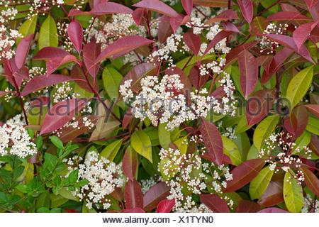 Fraser photinia (Photinia x fraseri 'Red Robin', Photinia x fraseri Red Robin, Photinia fraseri 'Red Robin', Photinia fraseri Red Robin), blooming, cultivar Red Robin - Stock Photo