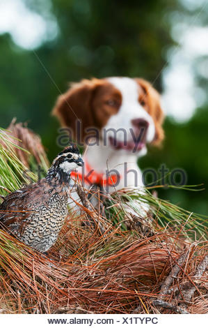 Bobwhite quail (Colinus virginianus) and Brittany spaniel; Gaitor, Florida, United States of America - Stock Photo