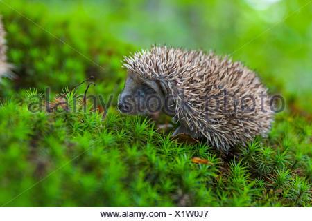 Western hedgehog, European hedgehog (Erinaceus europaeus), baby hedgehog in a forest, Switzerland, Sankt Gallen - Stock Photo