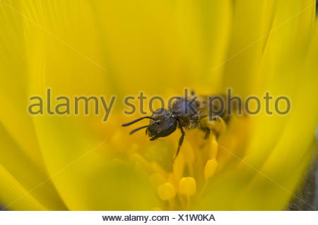 Wild bee in yellow blossom, close up, Apiformes, Adonis vernalis, - Stock Photo