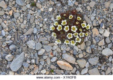 Irish Saxifrage (Saxifraga rosacea), Recherchefjorden, Spitsbergen, Norway - Stock Photo