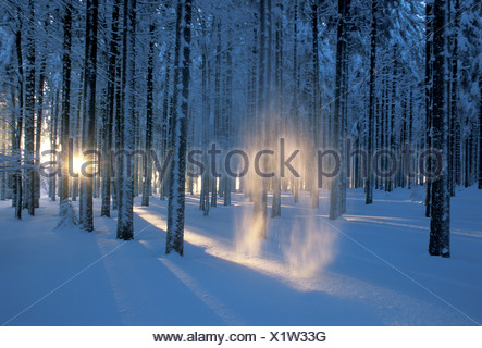 Evening light shining through the wintery Black Forest on Feldberg Mountain and illuminating the falling snow, Germany, Europe - Stock Photo