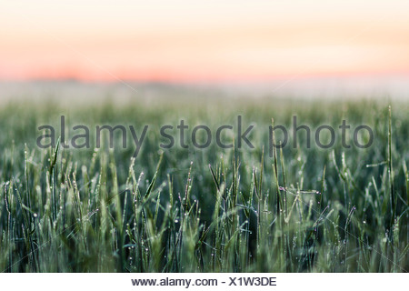 Frost on tall grass in field - Stock Photo