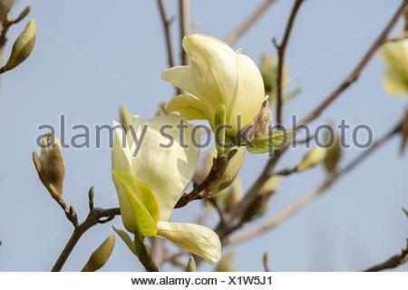 Yulan-Magnolie, Yulanmagnolie, Yellow River (Magnolia denudata 'Yellow River', Magnolia denudata Yellow River), Sorte Yellow Riv - Stock Photo