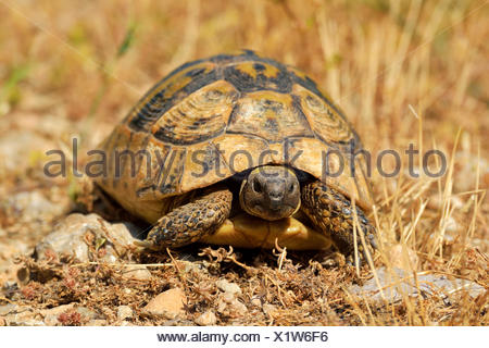 Dalmatian Tortoise (Testudo hermanni hercegovinensis), Dalmatia, Croatia - Stock Photo