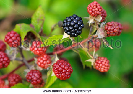Blackberry (Rubus sectio Rubus), fruits of varied ripeness, North Rhine-Westphalia, Germany - Stock Photo