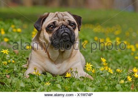 Pug in wild flower meadow, Schleswig-Holstein, Germany - Stock Photo