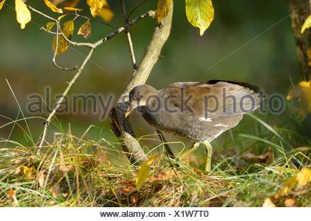 common moorhen, Gallinula chlorine opus, side view, standing - Stock Photo