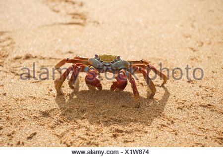 Sally Lightfoot Crab, (Red Rocks Crab) walking on beach.  Bartolome Island, Galapagos Islands, Pacific. - Stock Photo