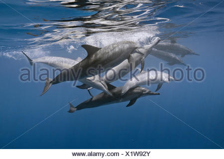 A pod of spinner dolphin swim in waters off Kona, Hawaii. - Stock Photo