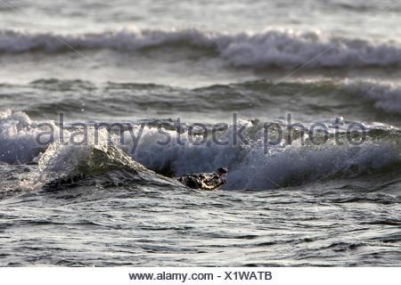 American crocodile (Crocodylus acutus), swimming in the sea, Costa Rica - Stock Photo