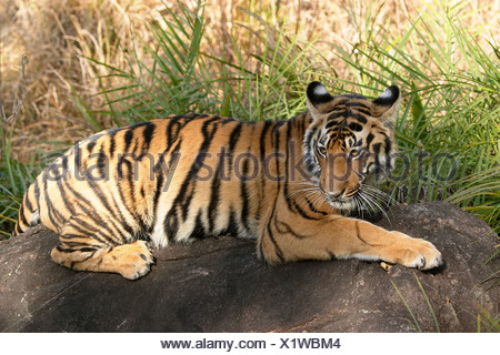 Bengal tiger sunning on a rock in a jungle. - Stock Photo