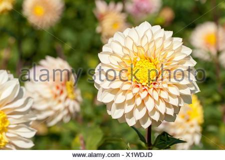 Blooming dahlia species - Stock Photo