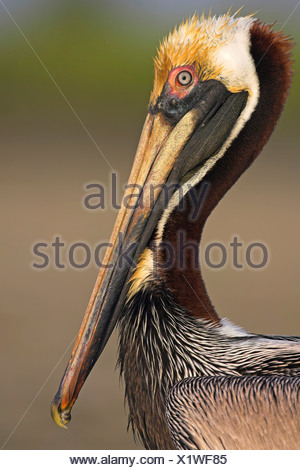 brown pelican (Pelecanus occidentalis), portrait, USA, Florida, Everglades National Park - Stock Photo
