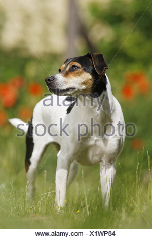 Danish Swedish Farmdog - standing on meadow - Stock Photo
