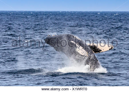 Breaching behavior of a humpback whale, Megaptera novaeangliae. - Stock Photo