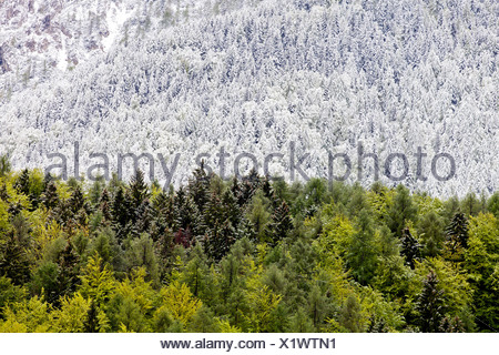 Mixed forest with some snow-covered and green trees after a brief snowfall, in Triglav National Park, Julian Alps - Stock Photo