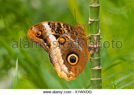 Yellow-edged Giant Owl (Caligo atreus), captive, Thuringia, Germany - Stock Photo
