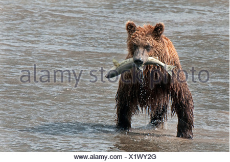 Brown Bear catches a fish  in Chinitna Bay, Lake Clark National Park, Southcentral Alaska, Summer - Stock Photo