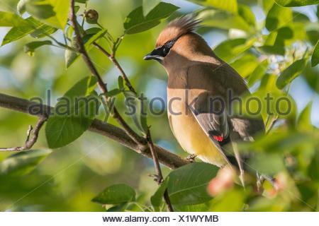 A cedar waxwing, Bombycilla cedrorum, perched in a tree along the Occoquan River. - Stock Photo