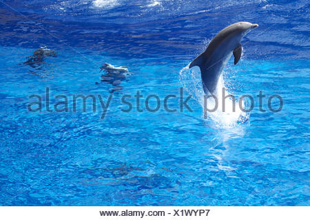 dolphin leaping at zoo. swimming pool, animal, dolphinarium, fish. - Stock Photo