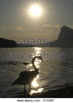 mute swan (Cygnus olor), swan in backlight at sunset, Austria, Oberoesterreich, Mondsee - Stock Photo