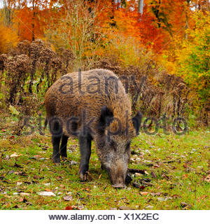 wild boar, pig, wild boar (Sus scrofa), wild sow standing in an autumnal clearing, Germany, Baden-Wuerttemberg - Stock Photo