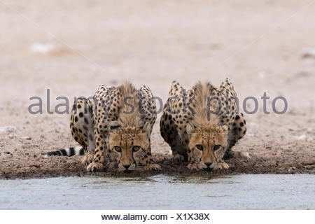 Two cheetahs, Acinonyx jubatus, drinking at a waterhole. - Stock Photo