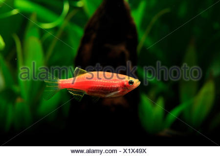 Zebrafish GloFish, genetically modified fluorescent fish - Stock Photo