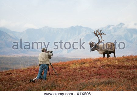 Man photographing a large bull caribou on a ridge in  Denali National Park during Autumn in Alaska - Stock Photo