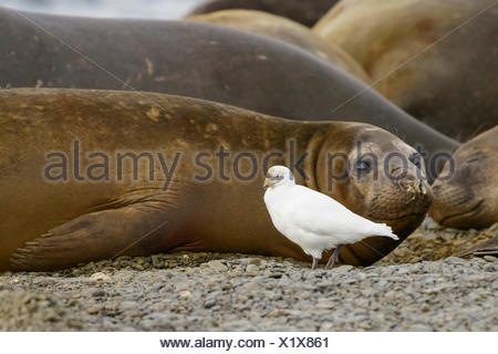 Snowy Sheathbill, Chionis albus, and Elephant Seals, Mirounga angustirostris South Georgia Island - Stock Photo