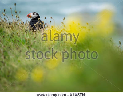 A puffin on the cliffs of Dyrholaey. - Stock Photo