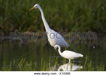 great egret, Great White Egret (Egretta alba, Casmerodius albus, Ardea alba), adult with squab standing in Lake Constance, Switzerland, Sankt Gallen, Rheineck - Stock Photo