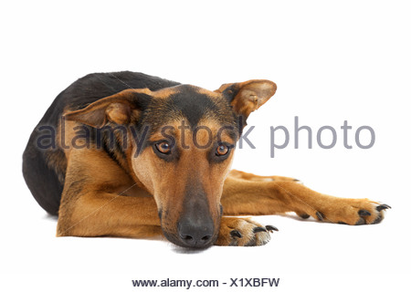 Shepherd mix lying - Stock Photo
