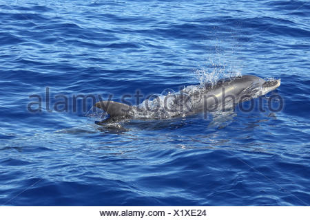 Bottle-nosed dolphin (Tursiops truncatus) at surface blowing bubbles. La Palma, Canary Islands. - Stock Photo