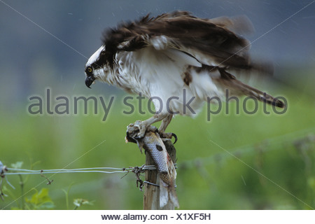 Osprey (Pandion haliaetus) with fish and shaking rain off plumage near Osoyoos, British Columbia, Canada - Stock Photo