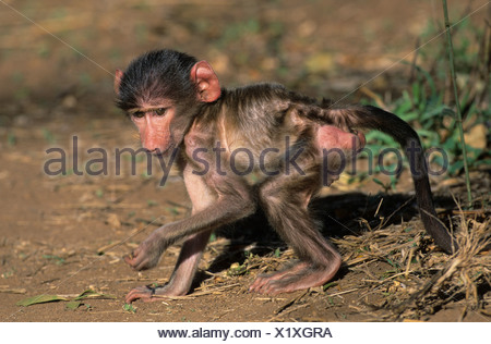 Chacma Baboon (Papio ursinus), young, Kruger National Park, South Africa, Africa - Stock Photo
