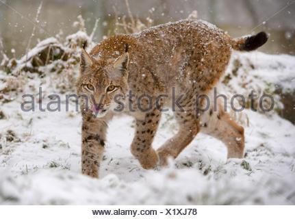 Eurasischer Luchs, Europaeischer Luchs (Lynx lynx), auf Nahrungssuche im Schnee, Deutschland, Bayern, Bayerischer Wald Nationalp - Stock Photo
