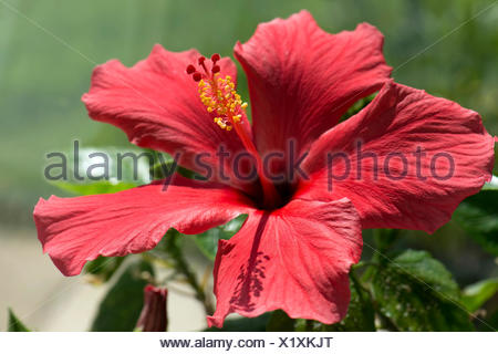 Red flower of Hibiscus rosa-sinensis or rose mallow with open petals and pronounced pistil supporrting styles, stigma and filaments with anthers - Stock Photo