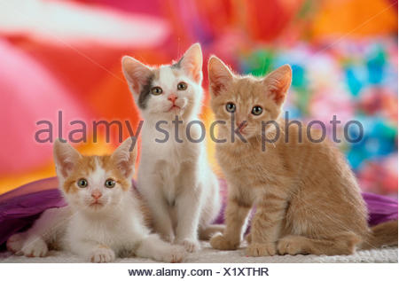 Domestic cat Three kittens front multicoloured background - Stock Photo