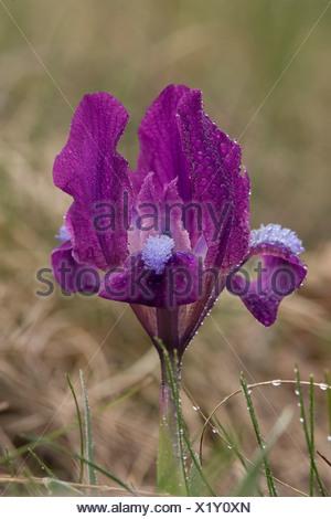 Zwergschwertlilie Pepita Iris barbata