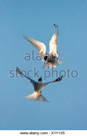 common tern (Sterna hirundo), two birds attacking each other in the air, Netherlands, Texel - Stock Photo