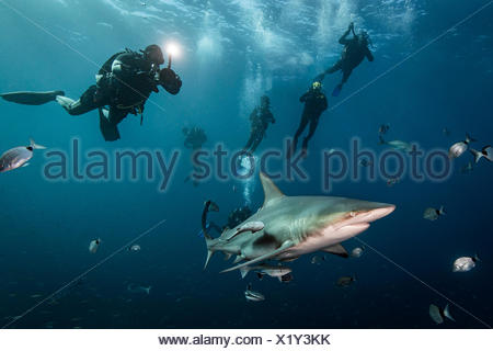 Scuba divers' encounter with large Oceanic Blacktip Shark (Carcharhinus Limbatus), Aliwal Shoal, South Africa - Stock Photo