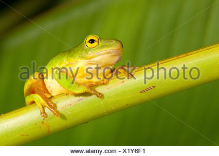 Photo of a Tinker Reed frog - Stock Photo