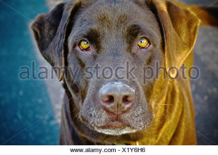 Chocolate Lab Dog - Stock Photo